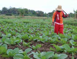 Petani Tembakau di Pamekasan Dimanjakan, Peroleh Bantuan Bibit hingga Alat Pertanian
